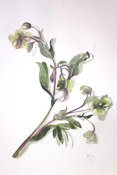 Helebore stem