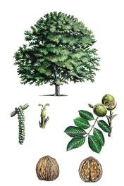 Noyer. Essence de bois local utilisée par Mastro. Artisan fabricant de meubles en Anjou (49). Travail artisanal sur-mesure. Fabrication française, bois français.