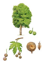 Platane. Essence de bois local utilisée par Mastro. Artisan fabricant de meubles en Anjou (49). Travail artisanal sur-mesure. Fabrication française, bois français.