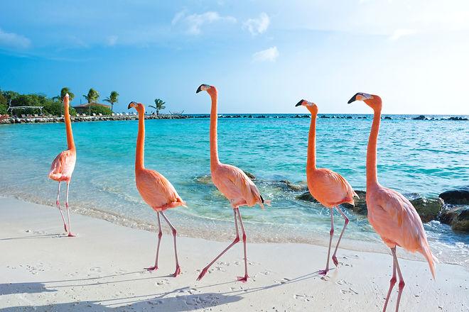 Pink flamingo, Aruba island.jpg