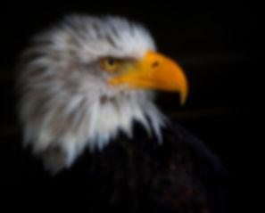 Greifvogel 5 - Kopie - Kopie.jpg