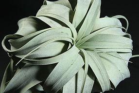 キセログラフィカ T. xerogrphica