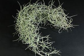 ウスネオイデス T. usneoides