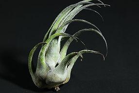 セレリアナ T. seleriana