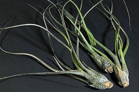 カプト−メドゥサエ T. caput-medusae
