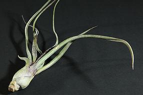 プセウドベイレイ T. pseudobaileyi