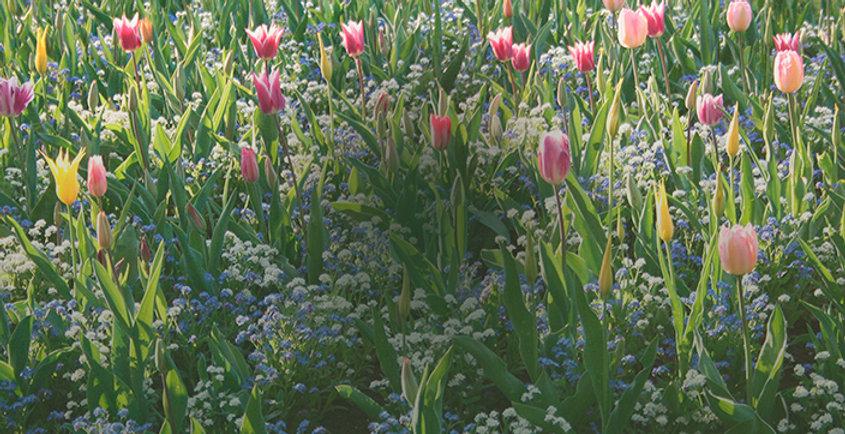Tulpen_v3.jpg