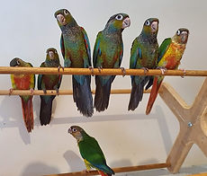 Crimson and Yellow Sided Conures_edited.