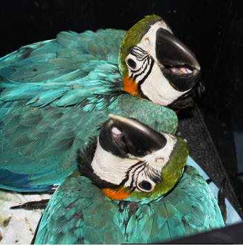 Blue & Gold Macaw Babies
