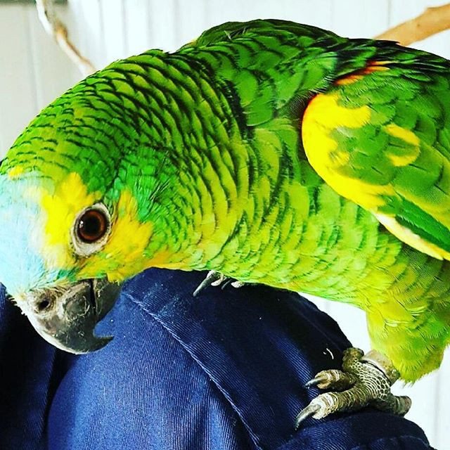 Amazon Blue Fronted hand raised availabl