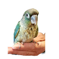Turquoise Conures