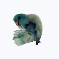 Blue Marble Parrotlet