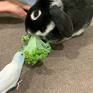 Blue Marble Parrotlet with Rabbit.jpg