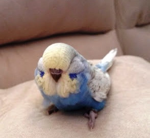 Couch Budgie