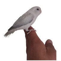 Grey Marble Parrotlet