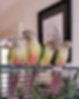 Pineapple Conures Hand Raised on an Open Roof Cage