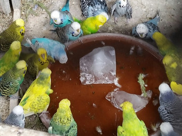 Swimming Pool Budgies