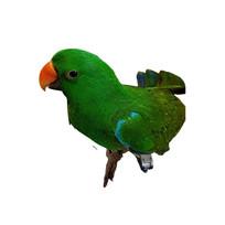 Eclectus Parrot Male