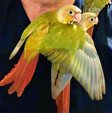 Pineapple Conures.jpg
