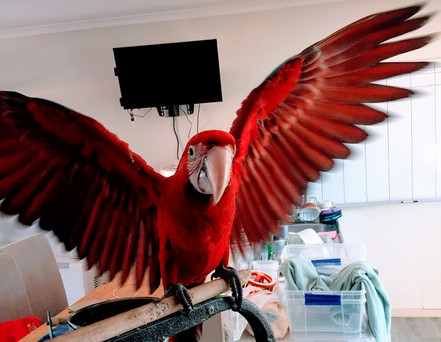 Greenwing Macaw.jpg