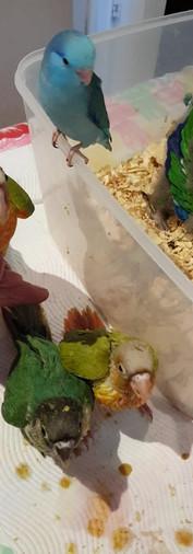 Hand Raising Pet Birds