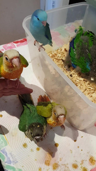 Pet Birds For Sale! Hand Raised Birds Delivered To You