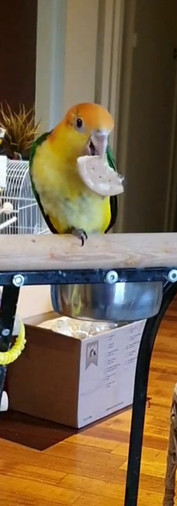 Caique White Bellied