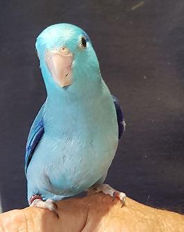 Parrotlets Pacific Blue