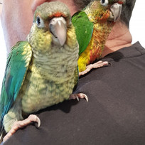 Turquoise and Yellow Sided Conure