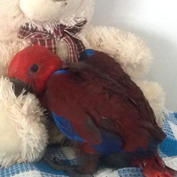 Eclectus Female Parrot