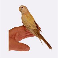 Rosa Bourke Parrot