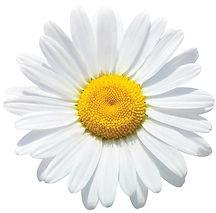Daisy for PDF.jpg