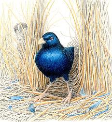 JanetMatthews-Bower bird.jpg