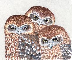JanetM-Boobook owl - Quiet observers 8H1