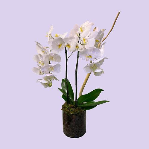 Orquídea de doble vara