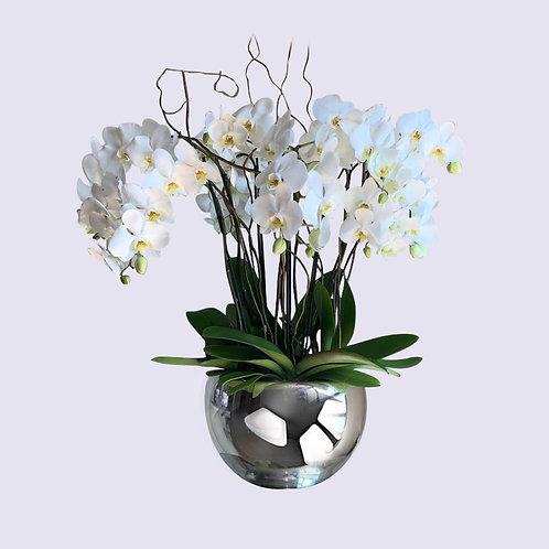 Planta de orquídea con 4 varas