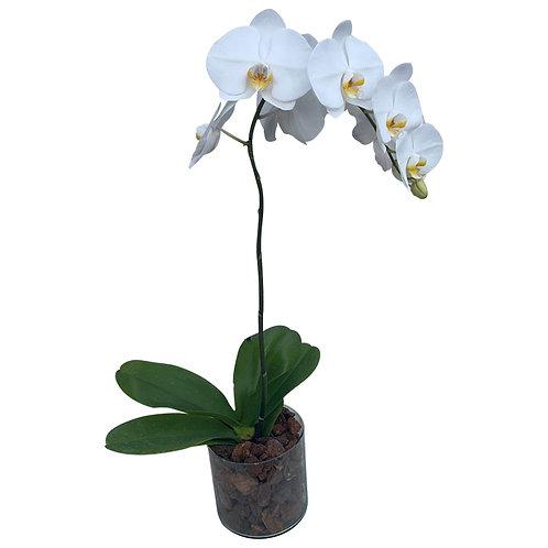 Orquídea de una vara