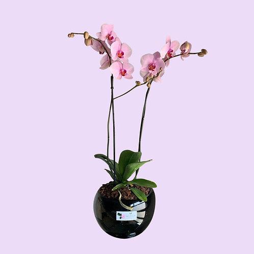 Orquíde a doble vara 2