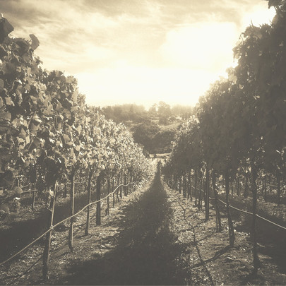 Pinot Noir Vineyard In Petaluma Gap