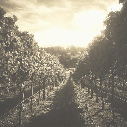 Pinot Noir Vineyard In Petaluma Gap