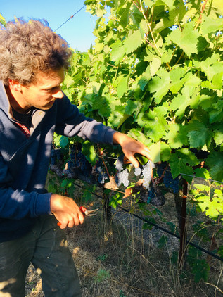 Thinning Primitivo grapes