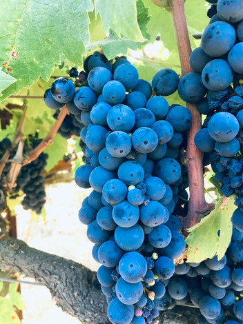 Beautiful Primitivo grapes grown organically