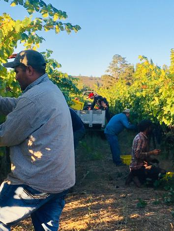 Primitivo Harvesting