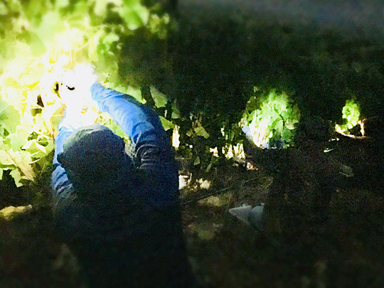 Pinot Noir Night Harvesting