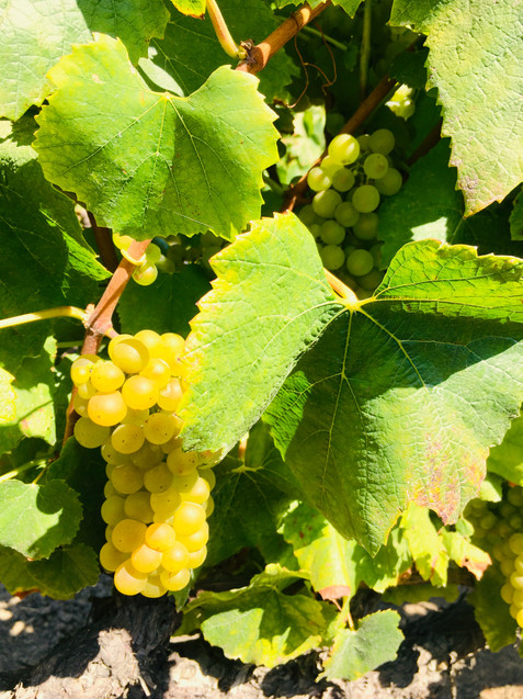 Chardonnay in Linda Vista Vineyard