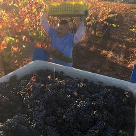 Cabernet Harvesting 2019