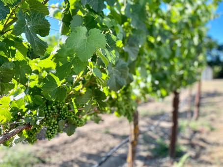 私のワイン造りの基礎となる葡萄栽培とワイン造り