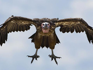 And you get ... a vulture as the prize!!