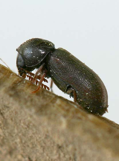 Death Watch Beetle looking for love