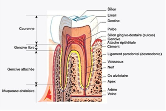 Parodonte-molaire-Dentiste-Divonne.jpg